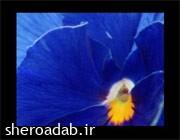 گل بنفشه رنگ نیلی