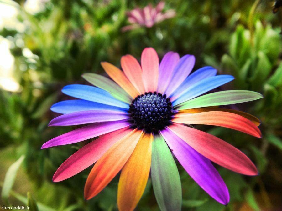 گل هفت رنگ